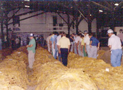 Farmers Sorting Tobacco